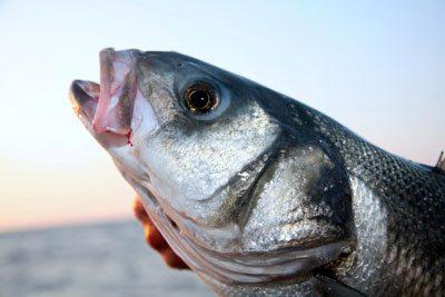 species ID bass
