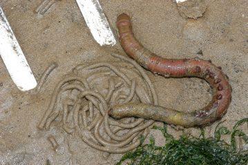 a lugworm beside a cast