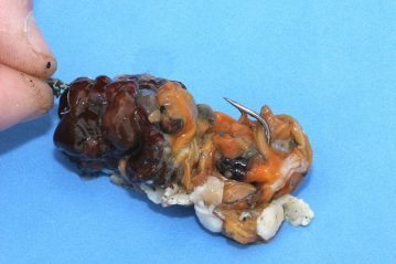 Sea Anemone Bait with mussel