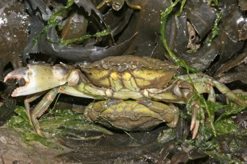 male crab carrying a female underneath