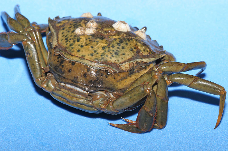 a peeler crab popping its shell