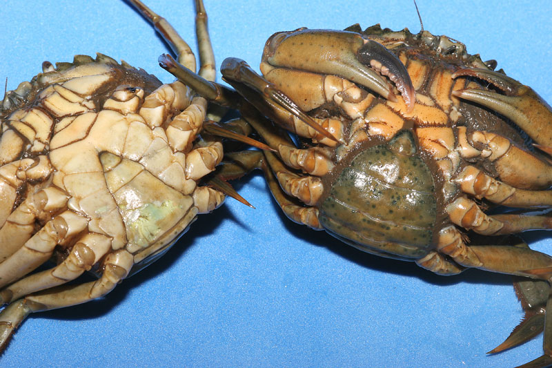 a male, left, and female peeler crab