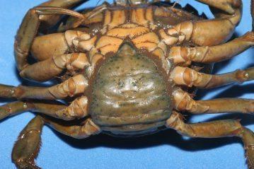 a female peeler crab
