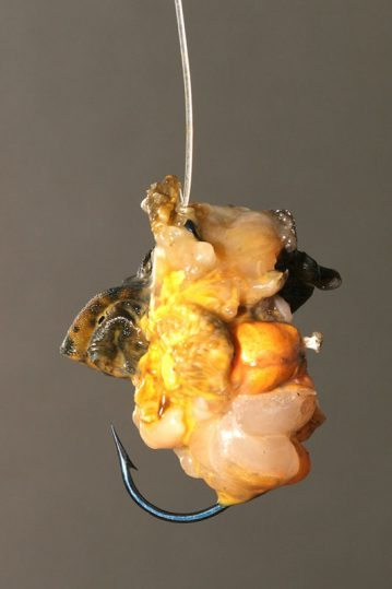 a peeler crab baited hook