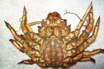 the uderside of a spider crab