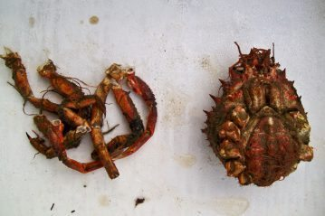spider crab separated for bait