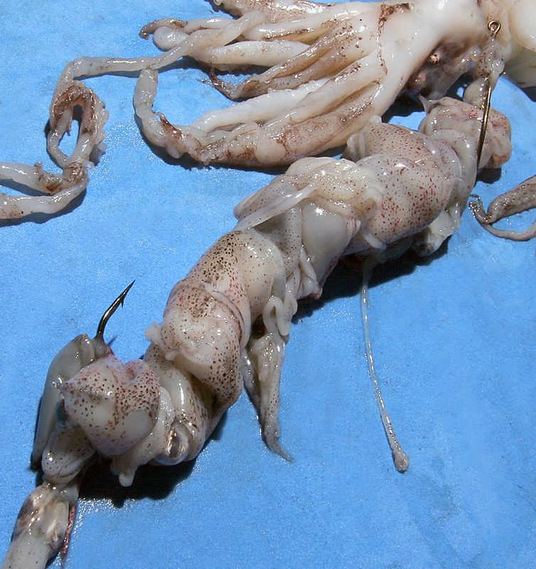 a well wrapped squid bait on pennel hooks