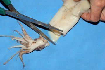 chopping the head off the squid