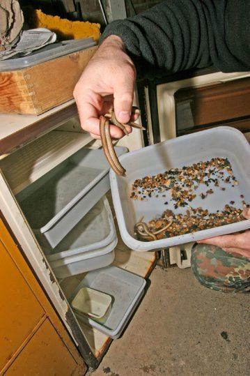 white ragworm being checked in fridge