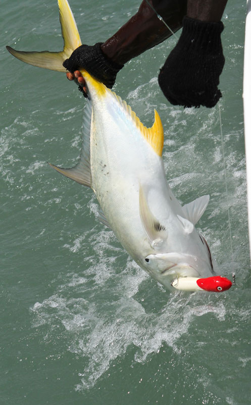 a Guinea-Bissau yellowtail on a popper