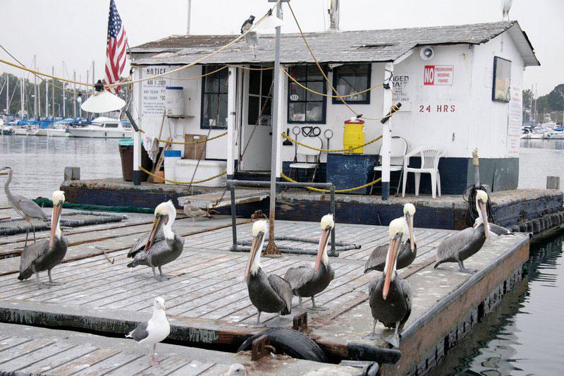 pelicans wait for spare fish