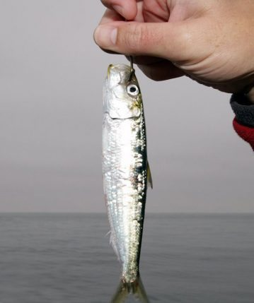 a live bait ready to cast for San Diego bonito