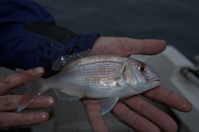a couch's bream from Braye harbour
