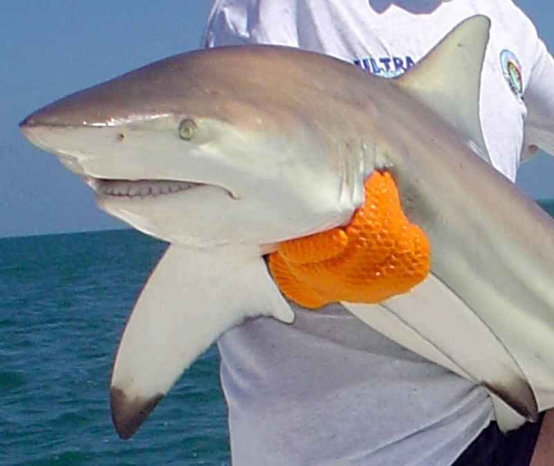 close up of a spinner shark