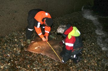 Measuring the common skate across the wings