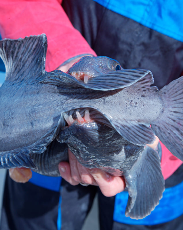 Icelandic wolffish takes a bite of its own tail