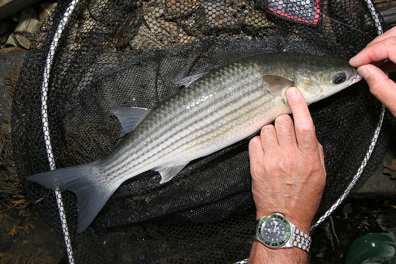 unhooling a thick lipped grey mullet