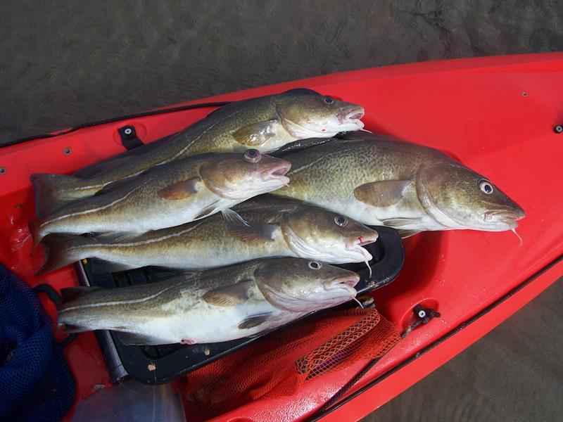 nice haul of kayak cod