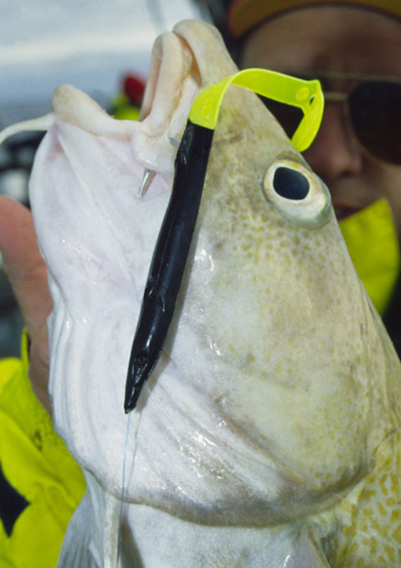 a cod taken on a Red Gill Afterburner