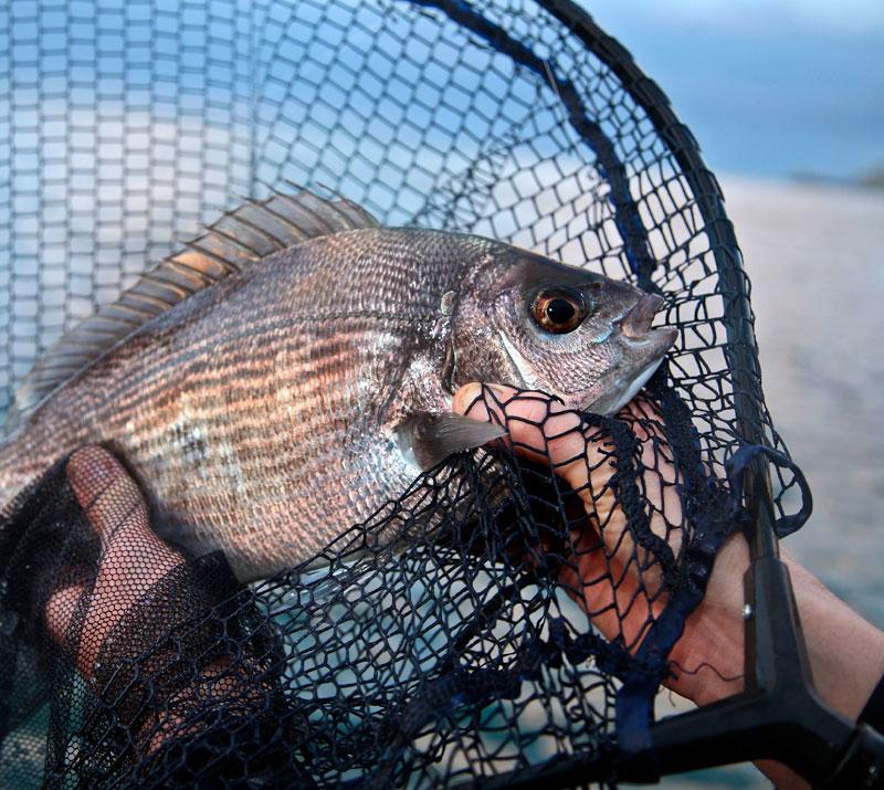 an Alderney black bream in the net