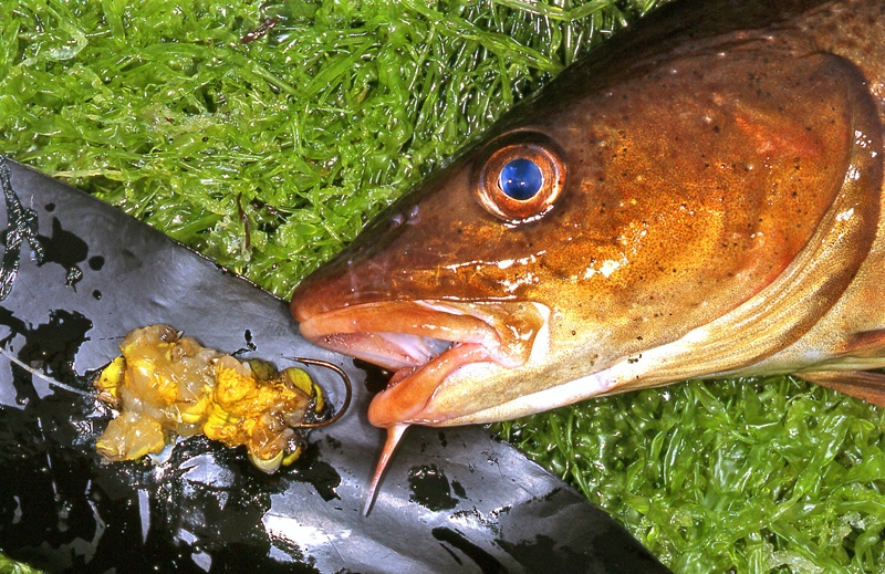 The head of a red cod with peeler crab bait