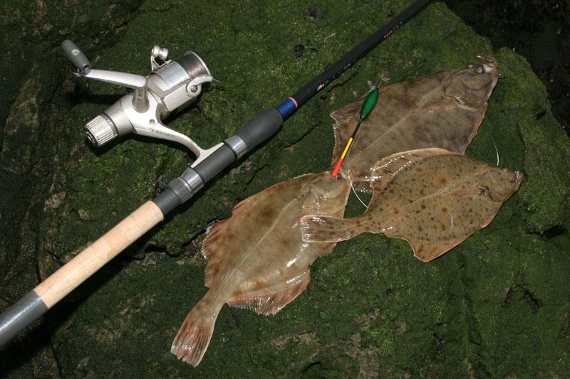 a catch of Greatham Creek flounders lying on rocks