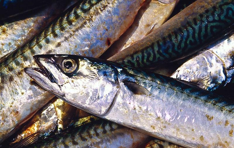 mackerel bait for ling