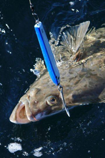 a pirk caught Vannoya halibut on the surface