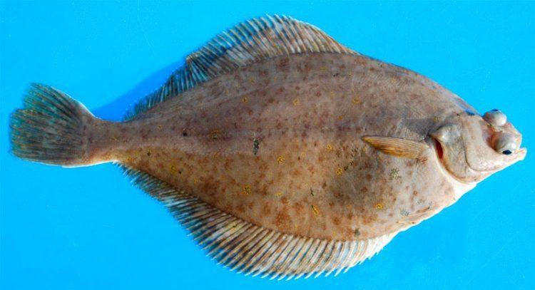 species ID dab