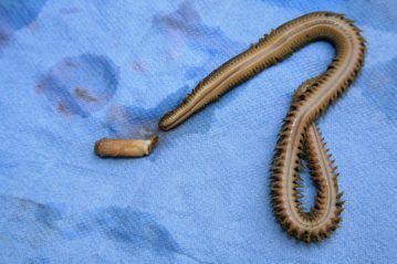 White Ragworm: Presentation & Transportation deheading 6