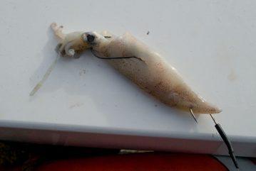 Baitbox Humber Cod Open 2012 squid bait