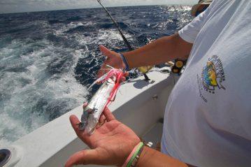 mexico fishing half eaten ballyhoo