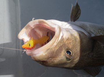 a cod on an Eddystone Eel 2013 Lure