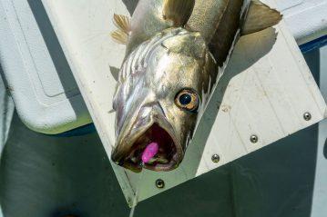 a pollack on an Eddystone Eel 2013 Lure