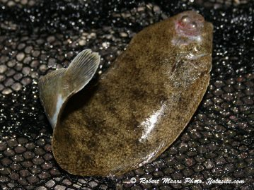 LRF Winter Flounder sole