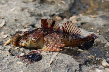 rock wrasse Portland Bill sea scorpion