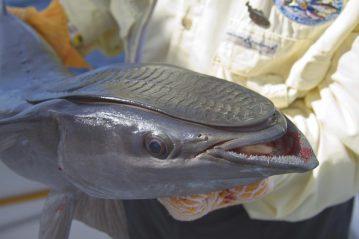 remora or sucker fish