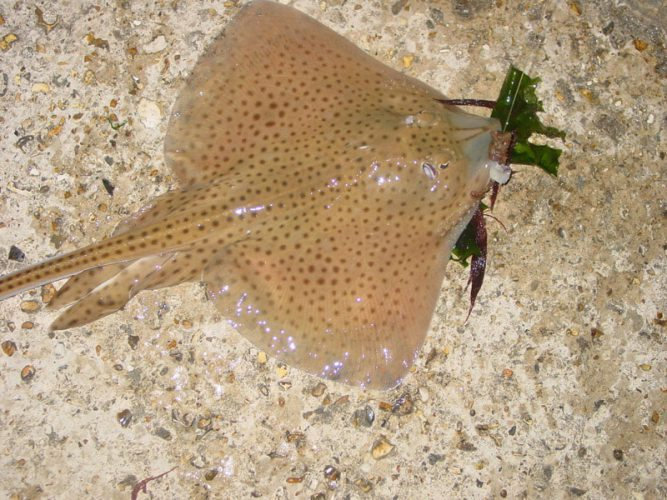 species ID spotted ray