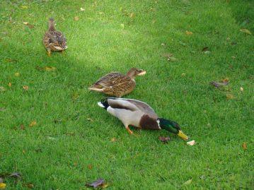 ducks feeding