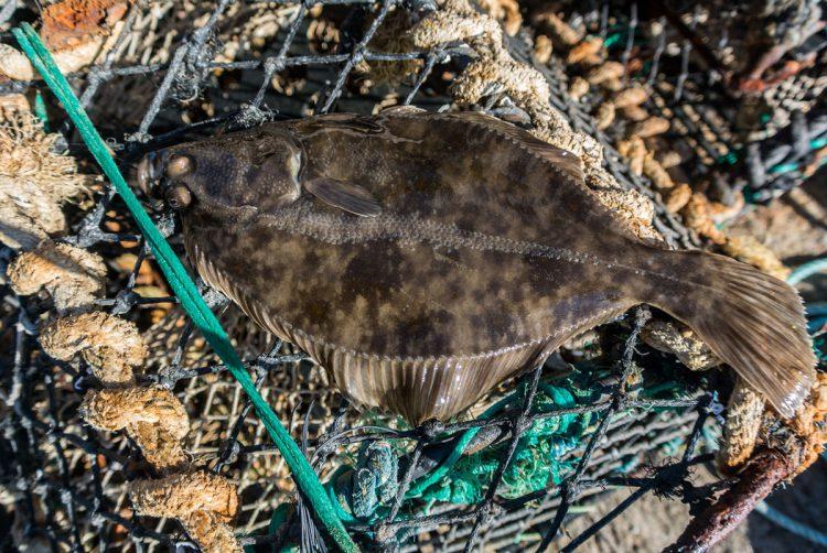 flatfish identification - the flounder