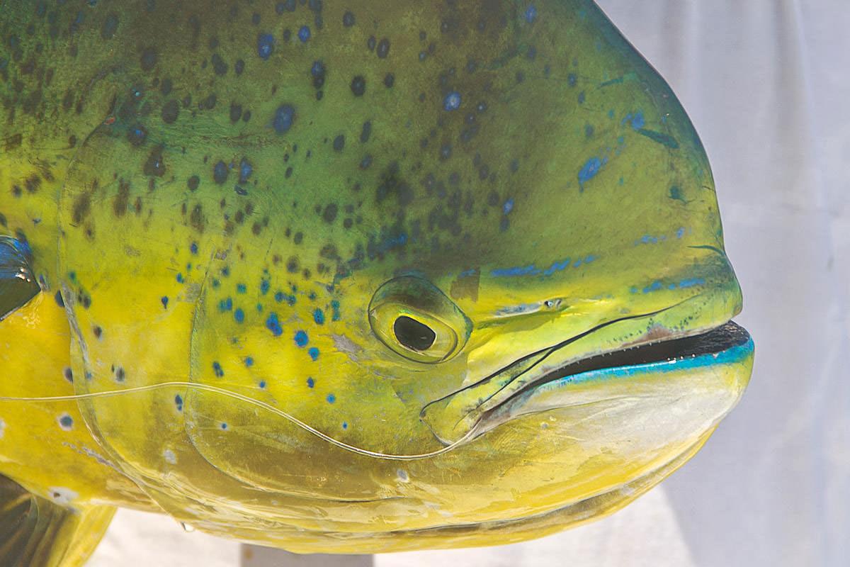 The head of a big female Dorado