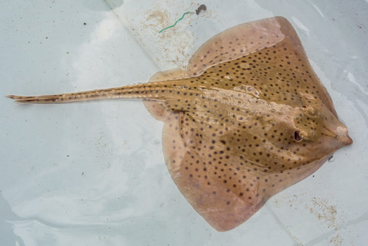 A female spotted ray on the drift