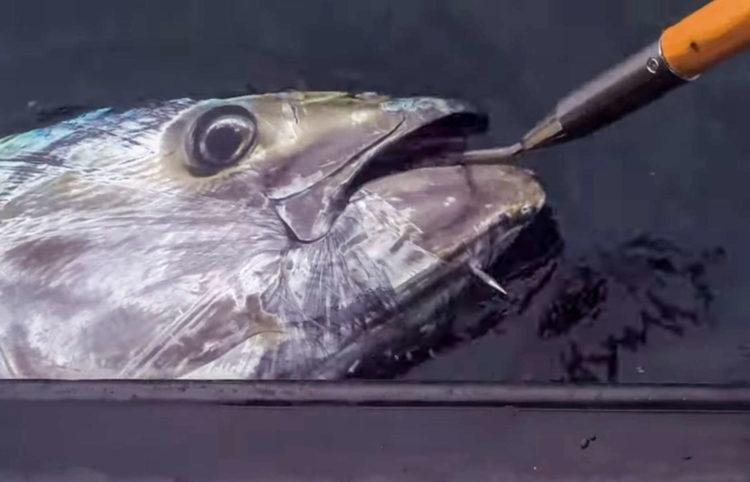 A Cornish bluefin tuna