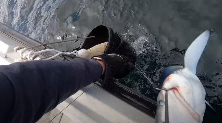 blue shark release