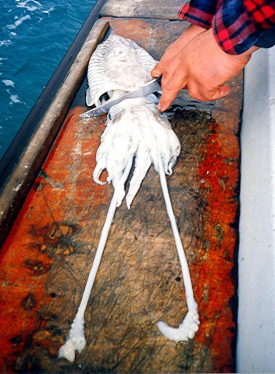cuttlefish bait step 1
