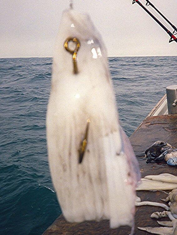 cuttlefish bait step 12