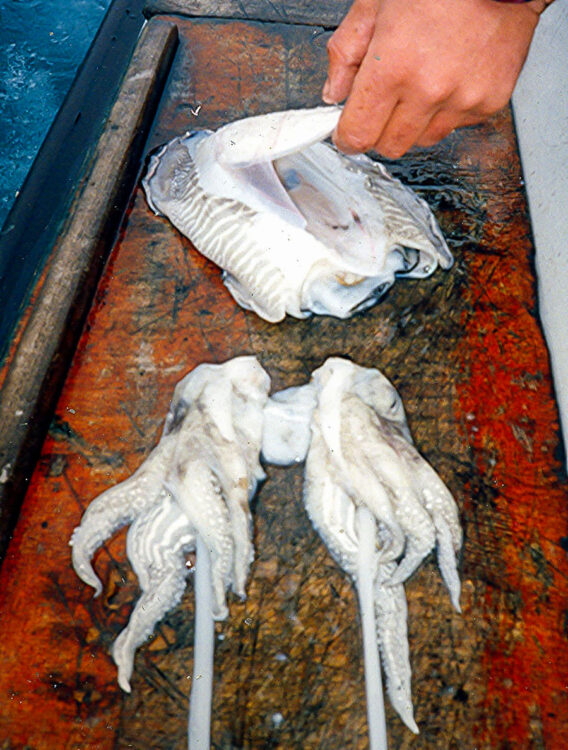 cuttlefish bait step 4