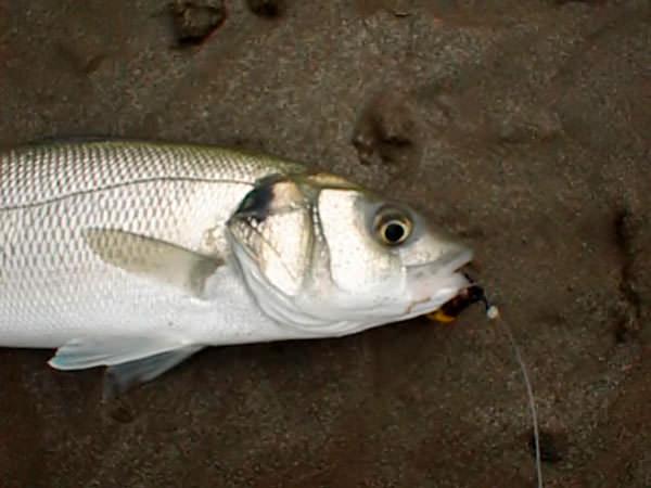 bass on beach