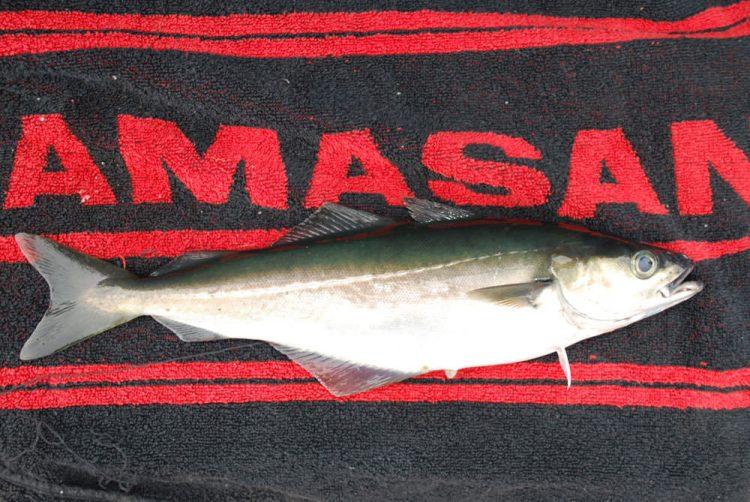 a coalfish