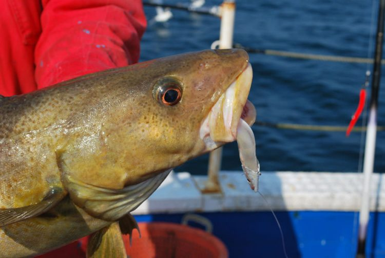 cod on a lure
